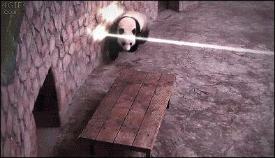 Un panda esta constantemente en una guerra por sobrevivir