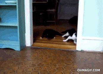 Gatos vs un piso limpio
