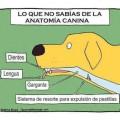 Lo que no sabias de las anatomia canina