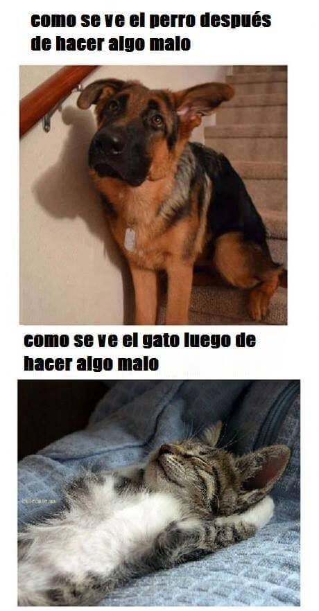 El perro cuando hace algo malo vs el gato
