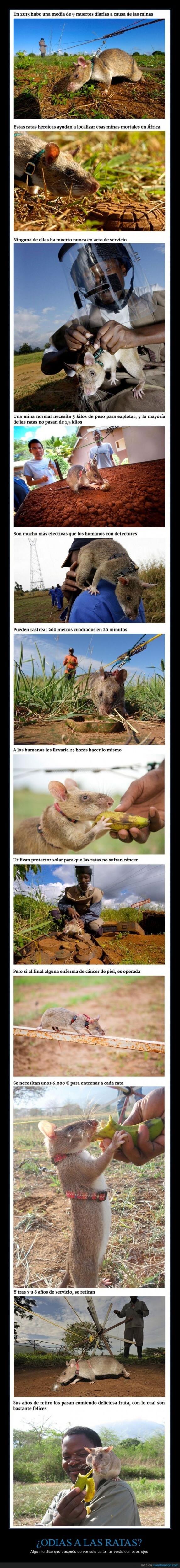 Esto hara que veas con otros ojos a las ratas