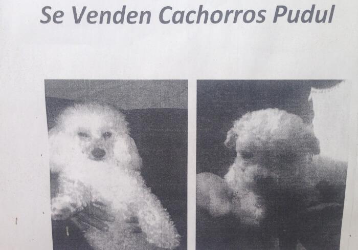 La nueva raza de perro pudul