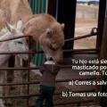 Que hacer si a tu hijo se lo come un camello