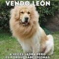 Se vende leon bilingue
