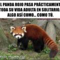 Somos como un panda rojo
